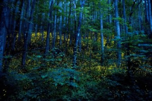 'Synchronous fireflies' displays are magical