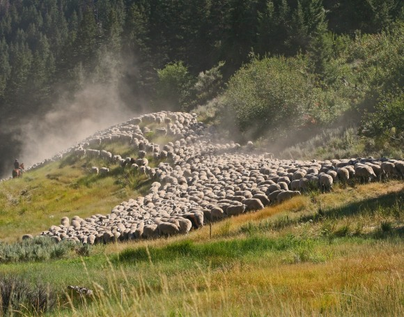 SHEEP+ON+SLOPE.GREEN+TREES-Idaho
