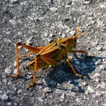 grasshopper_JulianneGCrane