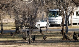 Texas' South Llano River State Park is a turkey (roost, that is, during winter)