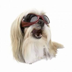 +WhiteLongHairDog_doggles
