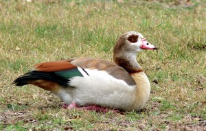 Egyptian Geese visit Potter's Creek campsite in Hill Country of Texas