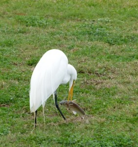 Great White Egret having seafood for lunch