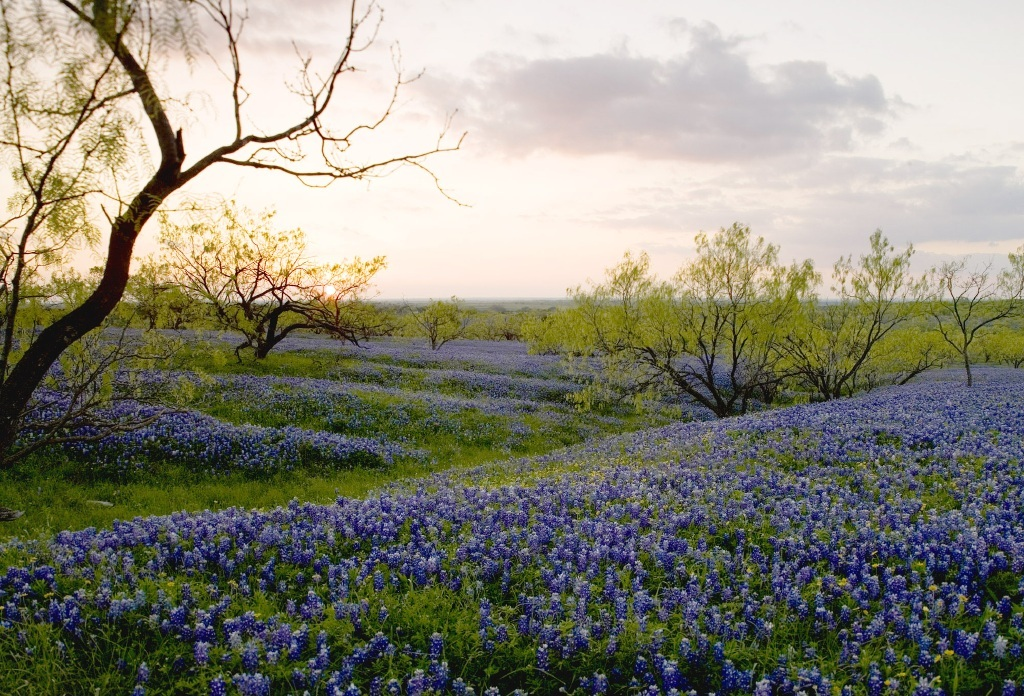 TX-field_of_bluebonnets-chase_a._fountain