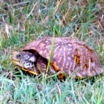 OasisSP_NM_box_turtle_JulianneGCrane