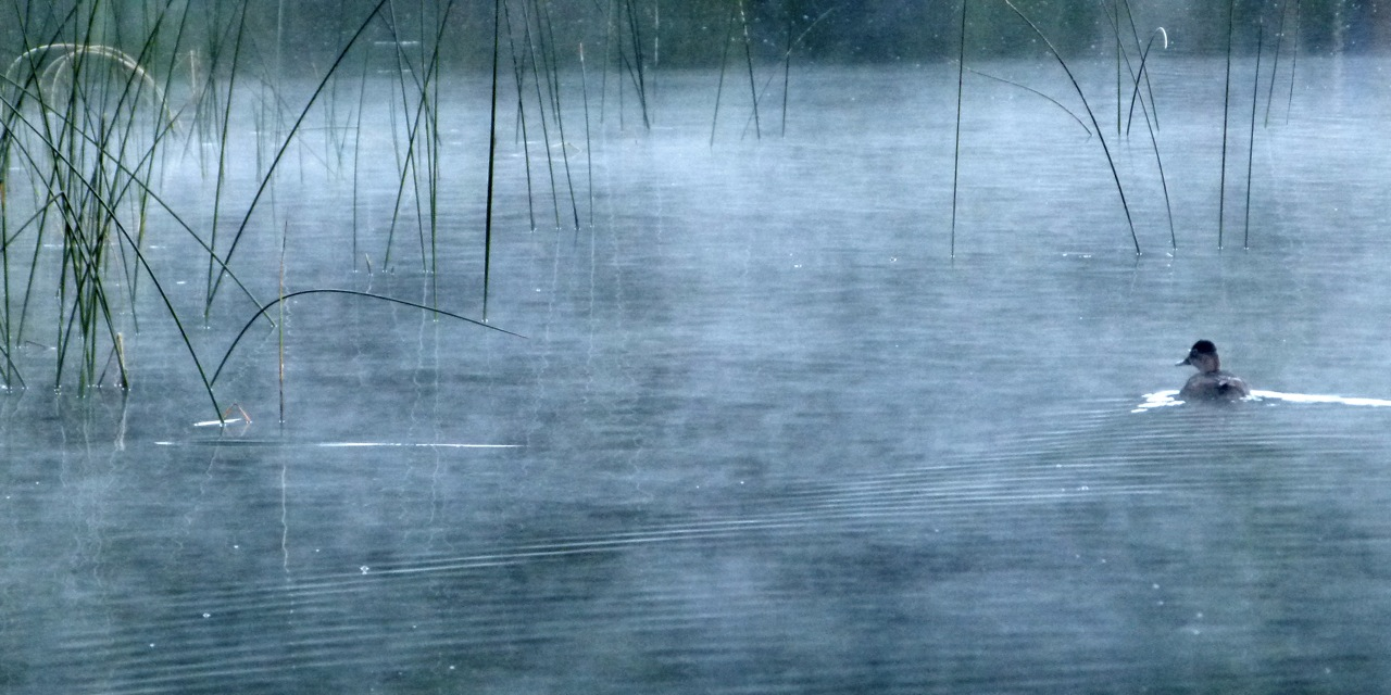 LakeBonaparte_duck_JulianneGCrane