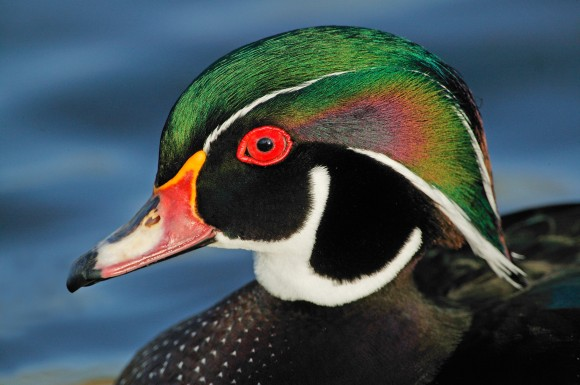 Wood Duck_Audubon