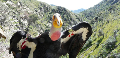 Live Condor Cam … reality TV at its best