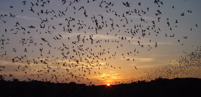 bat_flight_carlsbadCaverns