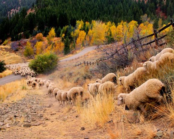 Clear+Creek+Sheep-Idaho-color