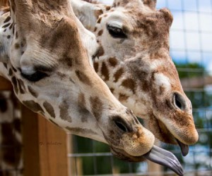 April the Giraffe's home in New York State makes for fascinating family RV Short Stop destination